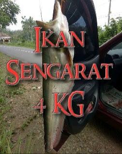 ikan sengarat besar 4 kilo kg