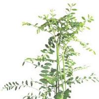 gambar pohon meniran