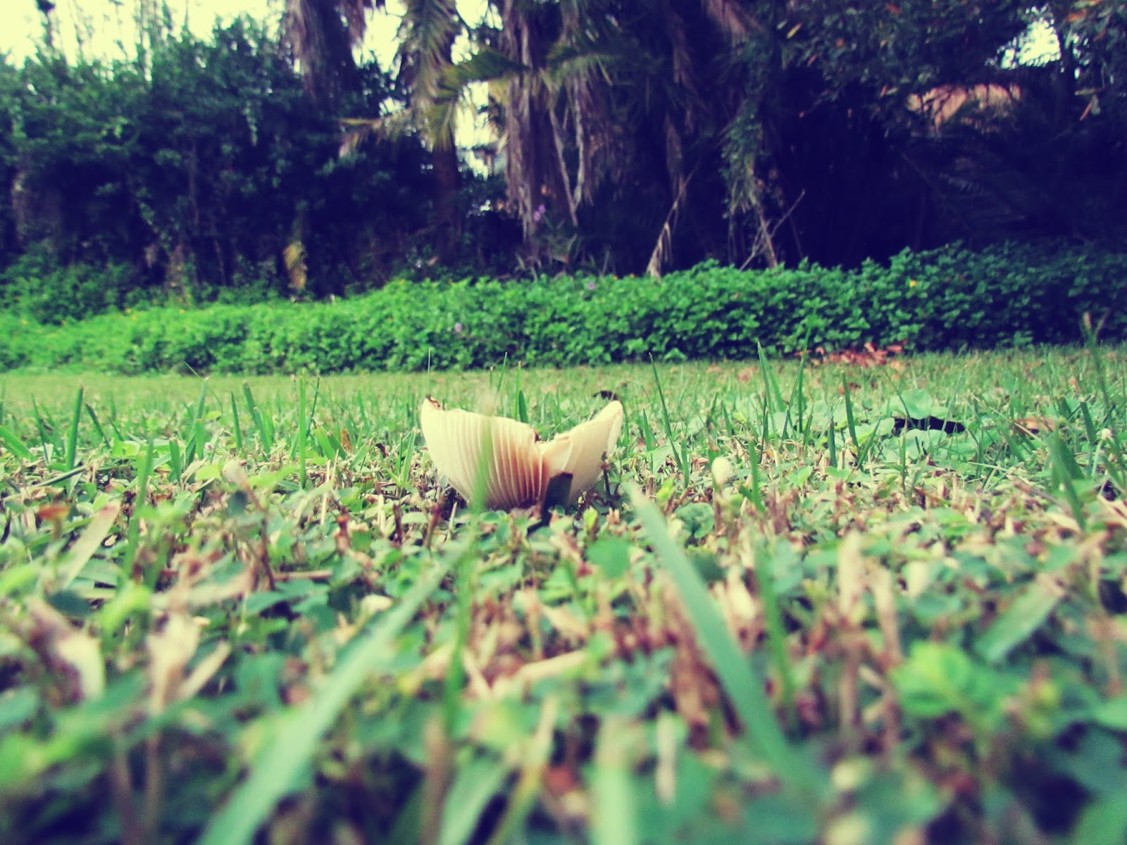 Mushroom Fungi in the Green Grass of Florida Tropical Backyard Paradise and Vacation Escape