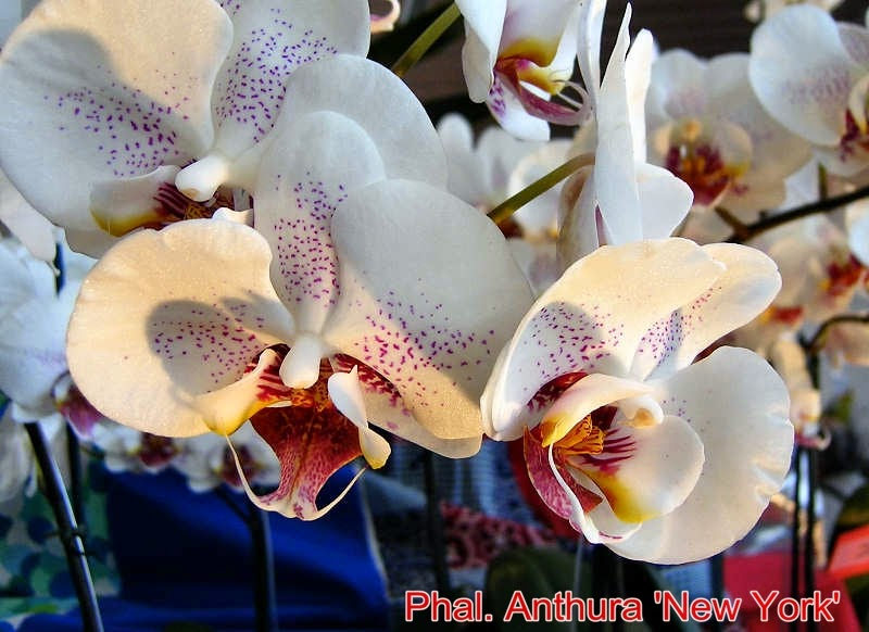 Phal. Anthura 'New York'