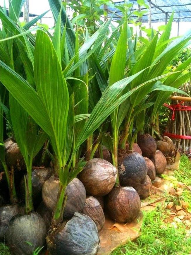 Bibit Kelapa Hijau Hibrida Genjah Asli Cepat Berbuah Sumatra Barat