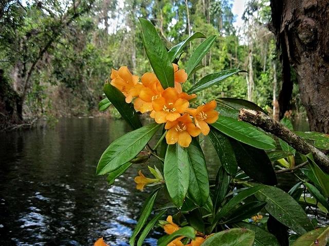 Gambar flora rhododendron javanicum