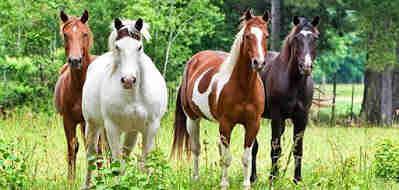 أشهر أنواع الأحصنة في العالم العربي