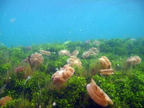 Jendela Informasi : Ubur-ubur Air Tawar Di Danau Kakaban
