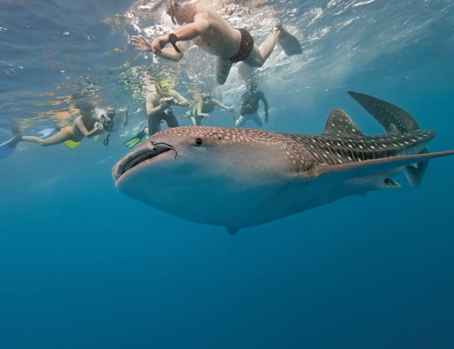 Xvlor Donsol is the best point to swim with whale sharks