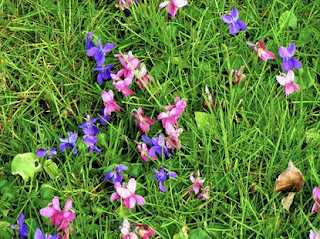 How To Control Violets In Lawns