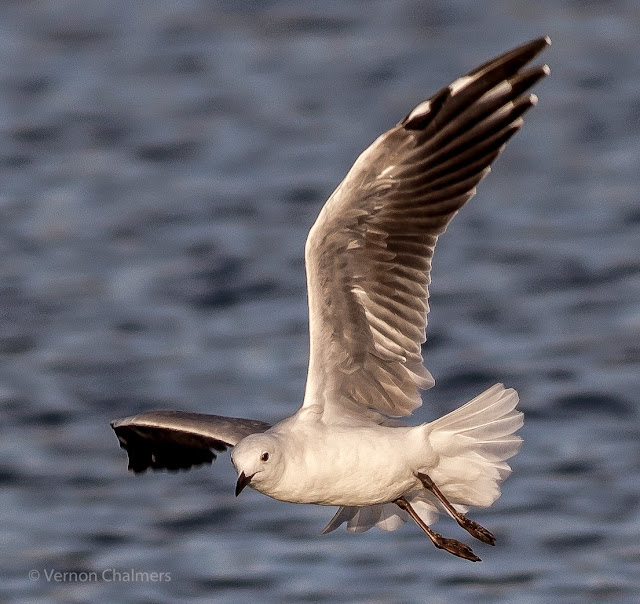 Hartlaub's Gull in the wind - Milnerton Lagoon / Woodbridge Island, Cape Town