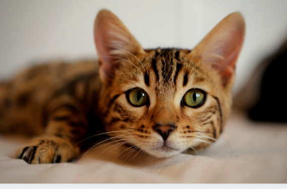 Adopter un bon chat : 4 conseils pour adopter un bon chat