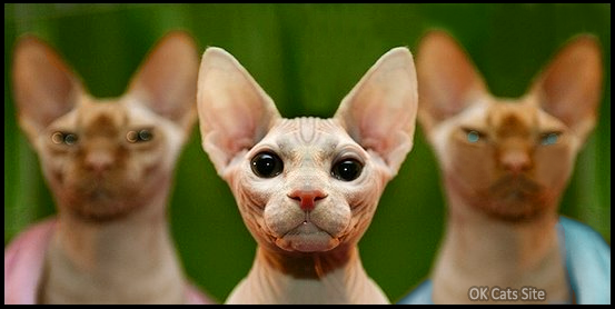 Photoshop Cat picture • OMG, the Sphynx cat GANG is back is the City! [ok-cats-site.com]