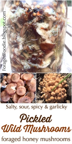 Quick and easy mushroom fridge pickles, with foraged ringless honey mushrooms. Gluten free, paleo foraging recipe from the ForagedFoodie.