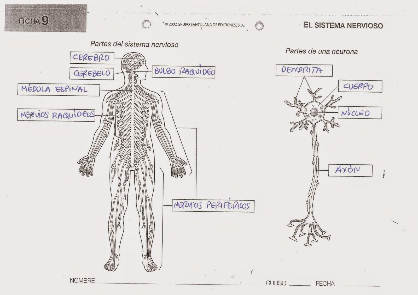Excepcional Anatomía Y Fisiología Del Sistema Esquelético Hojas De ...