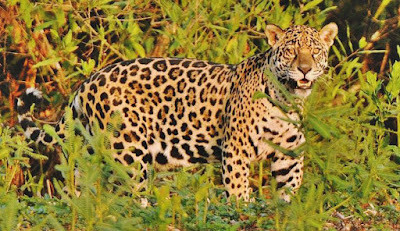 Jaguar - animal names that start with j