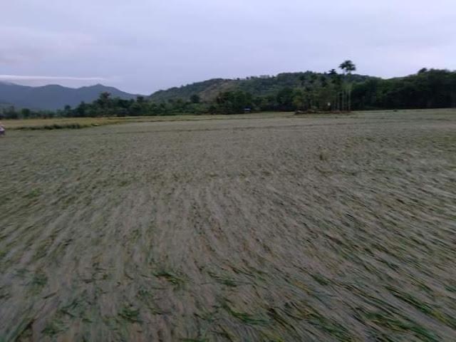 Lahan sawah gagal panen akibat banjir