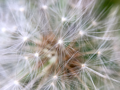 Dandelion clock, taken with my iPhone 6s and Olloclip lens