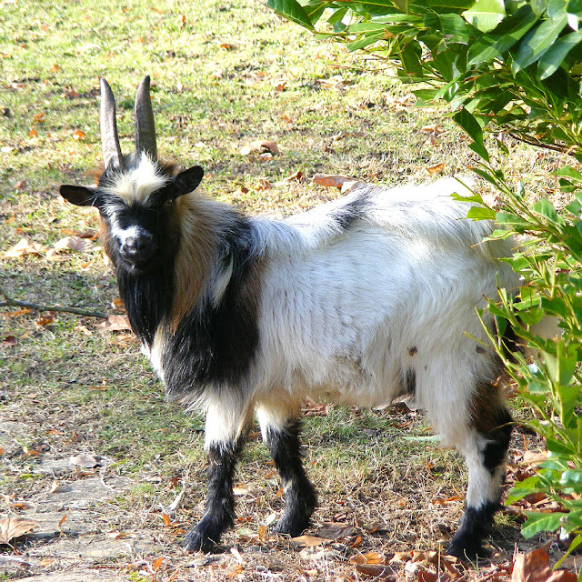 Goat, Chateau des Ormes, Vienne, France. Photo by Loire Valley Time Travel.