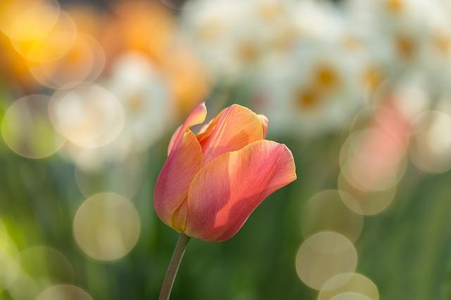 hoa tulip đỏ đẹp nhất