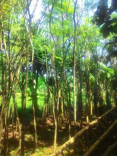 Kami tukang Taman minimalis menjual pohon pelindung jakaranda dengan harga murah poto gambar