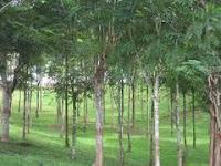 Pengertian dan Contoh Gambar Tanaman Perkebunan, Tanaman Pangan, Holtikultura
