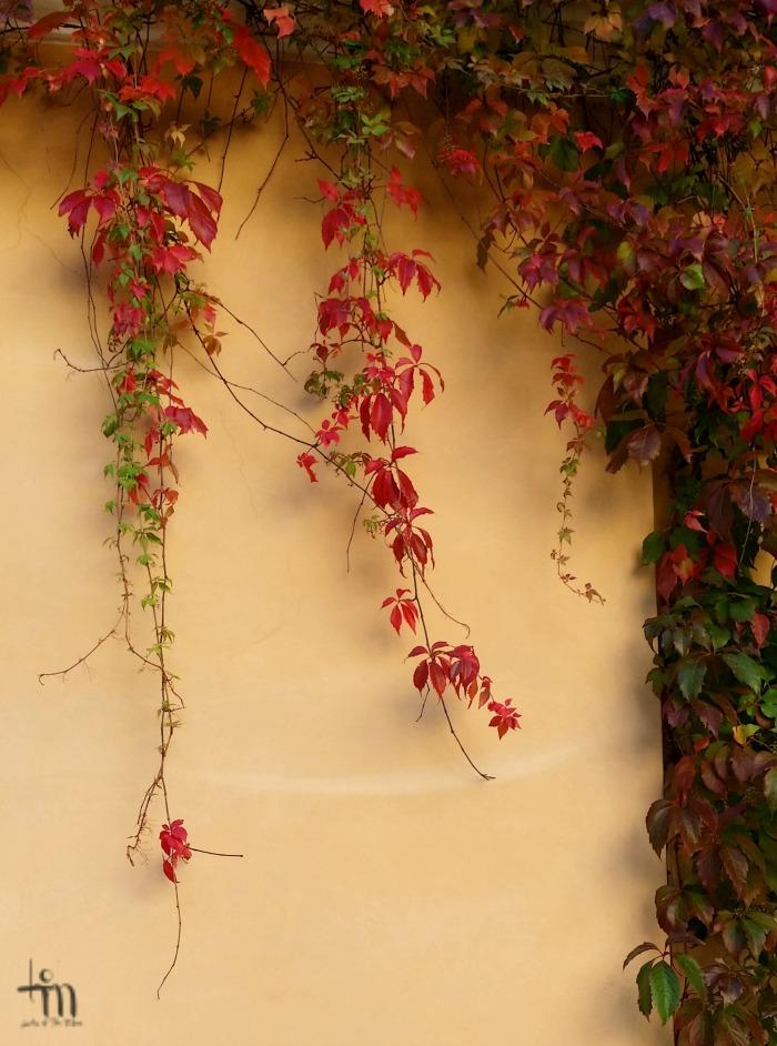 punertavat villiviinin oksat