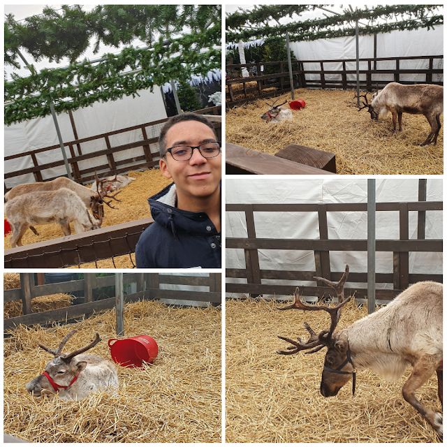 A photo collage showing three real reindeers at Oaktree Garden Centre in Bracknell.