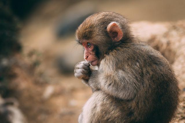 Monkey image