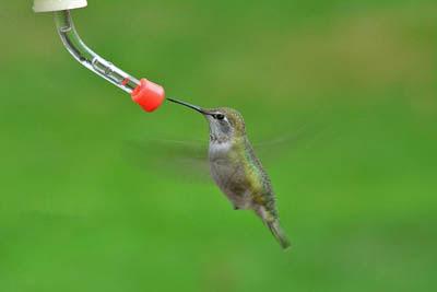 Photo of hummingbird at feeder. Bryan Hanson from Pixabay