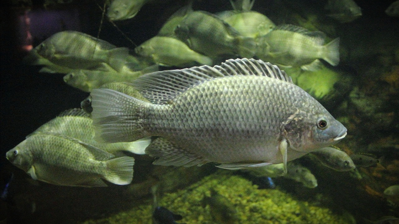 Ikan Mujair || Sejarah Dan Asal Usul Lengkapnya