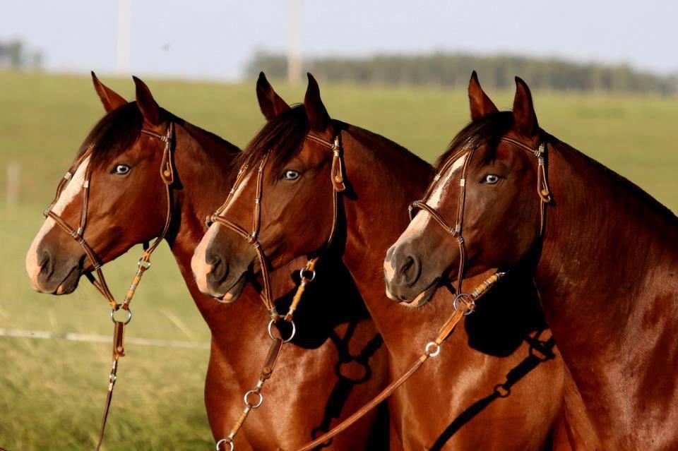caballos finos percherones pura_sangre