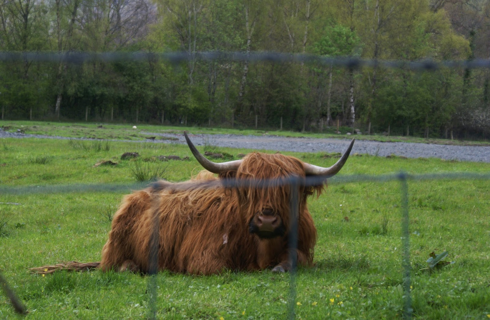 luss loch lomond scotland uk highland cow