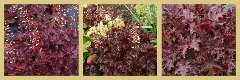 Heuchera 'Blackberry Crisp' 2 plantas de sombra en el jardín
