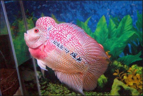 Ikan Louhan Stress dan Terserang Penyakit ? Penyebab dan Solusinya