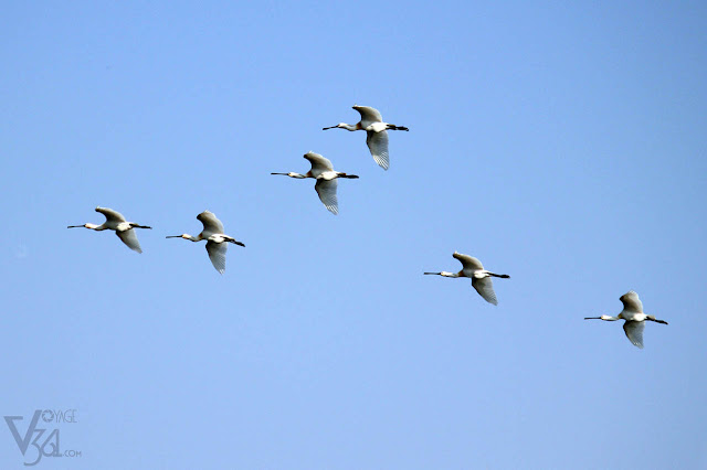 flight of Spoonbills at Ranganathittu