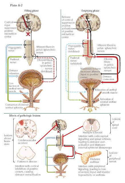 NEURAL CONTROL OF BLADDER FILLING AND VOIDING