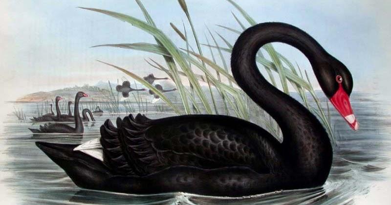 Black-swan-1