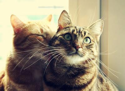 amour entre deux chats