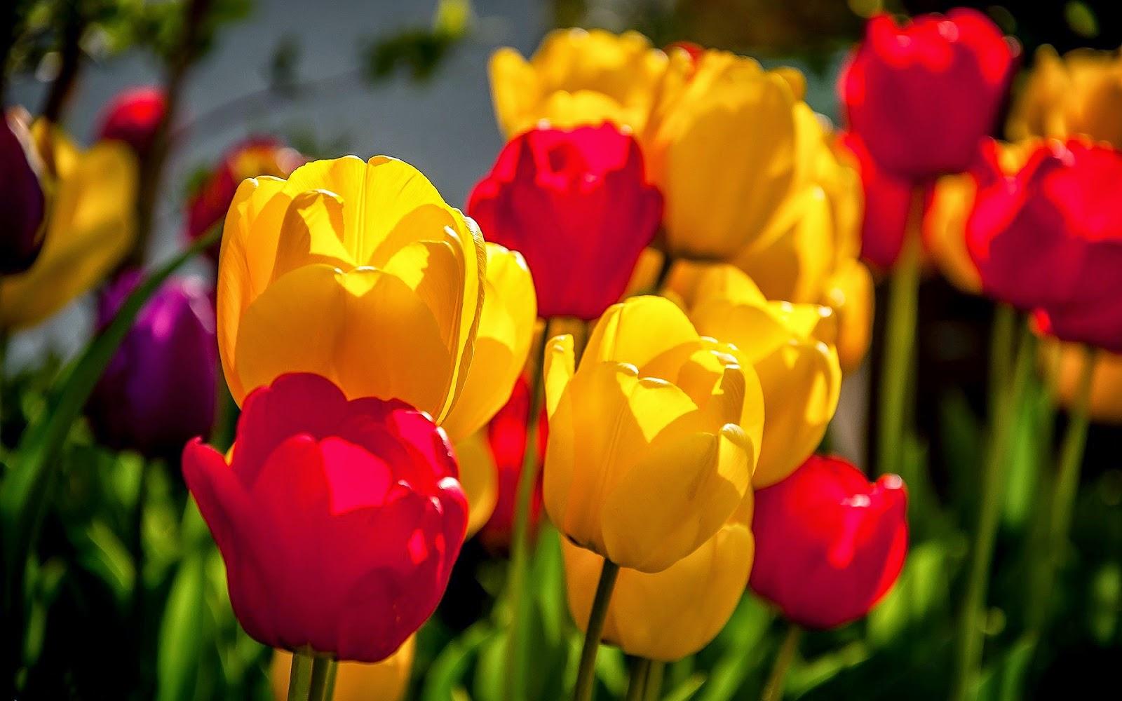 Foto van rode en gele tulpen in de lente