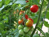 Budidaya Tomat dengan Mulsa Plastik, Ternyata Hasilnya Memuaskan!