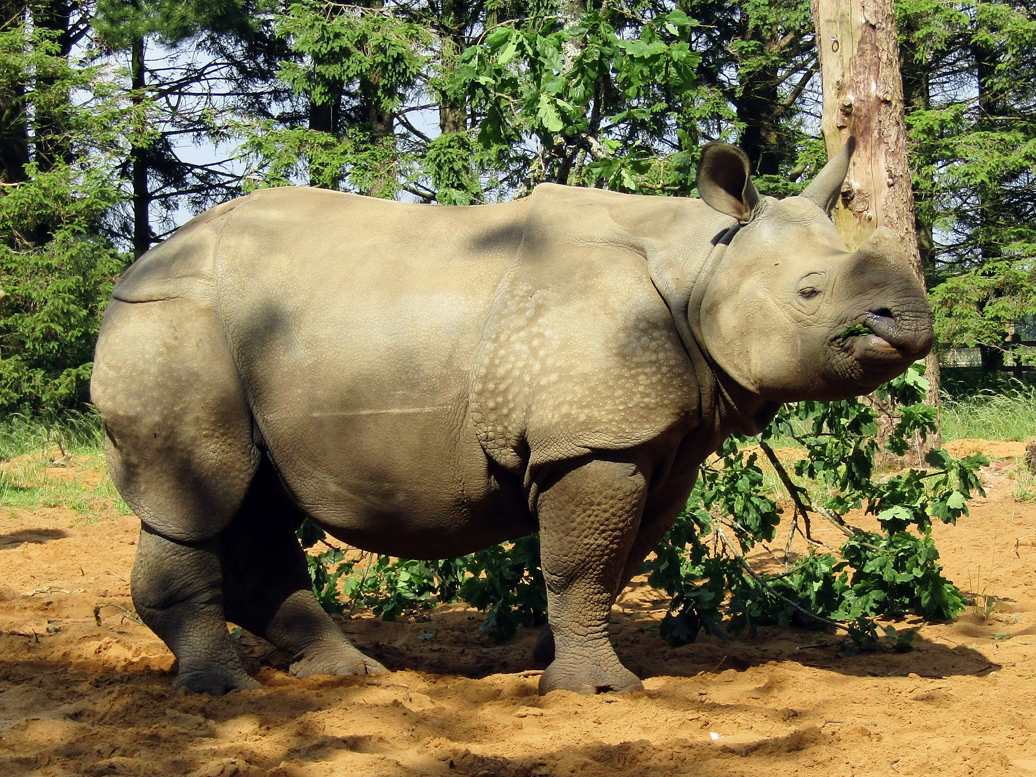 A photo of a grey greater one-horned rhino at Whipsnade Zoo.