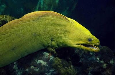 Moray Eel (Belut Moray)