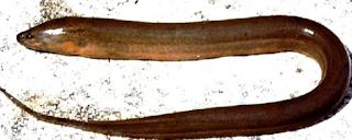 h sejenis ikan anggota suku Synbranchidae  Kabar Terbaru- BELUT SAWAH