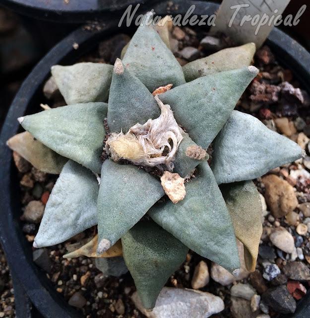 Vista del cactus Ariocarpus trigonus