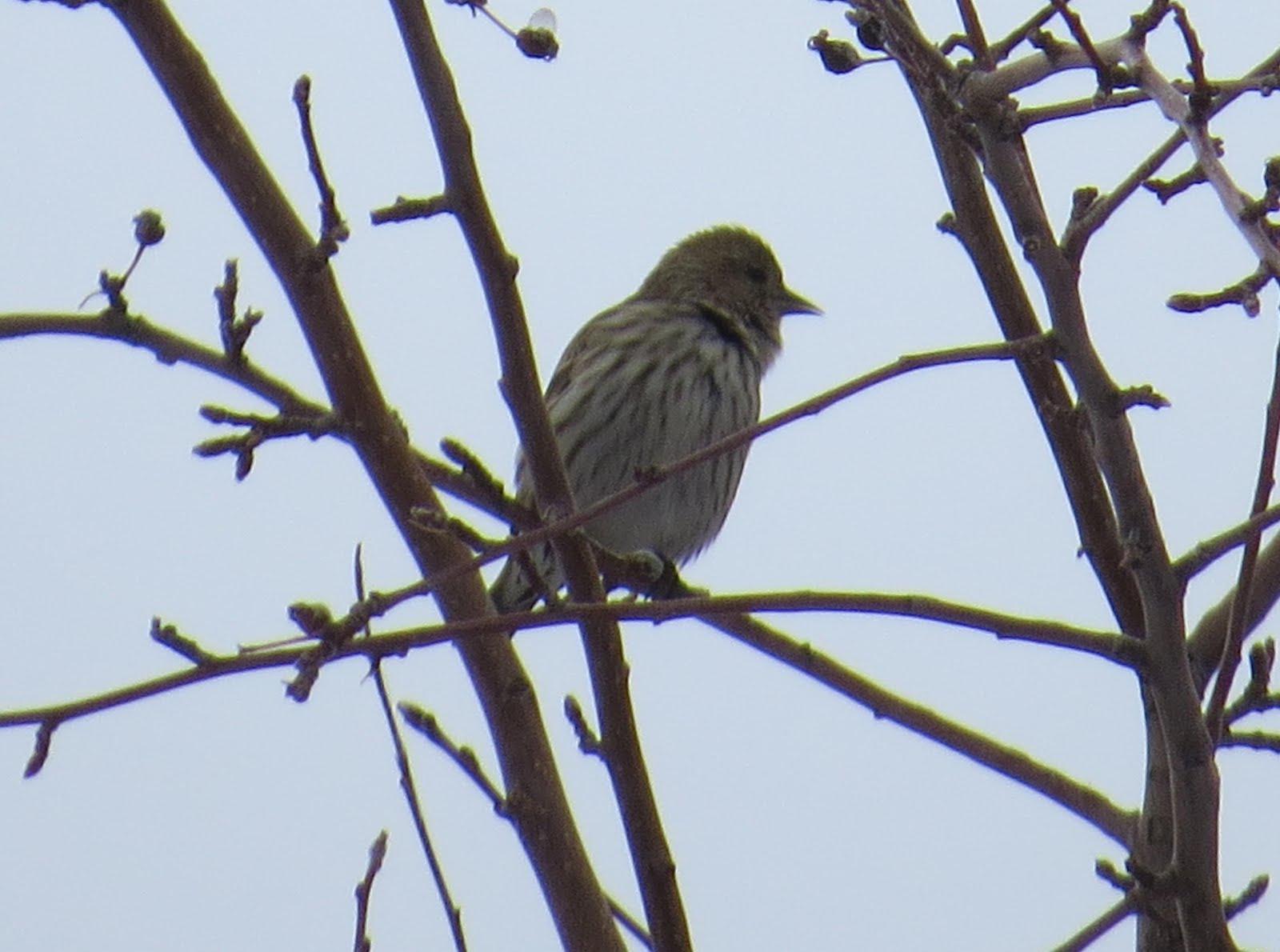 cobirds colorado rare bird: [cobirds] Pine Siskins, House Finch w