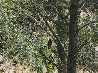 Zoomed in view of owl along Fish Canyon Trial, Angeles National Forest
