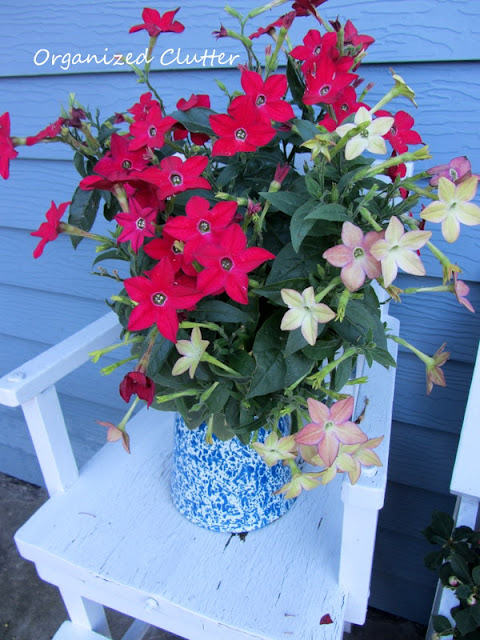 Nicotiana in a coffeepot