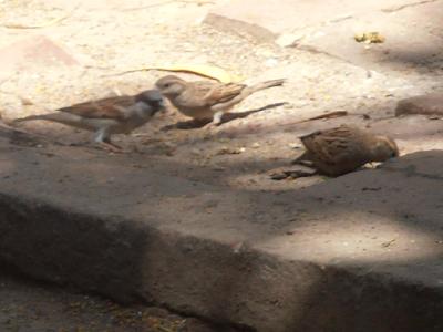 information of Sparrow bird