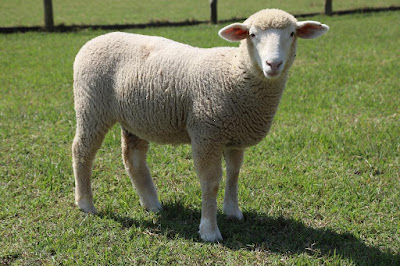 ovelha-na-sede-de-a-fazenda-11
