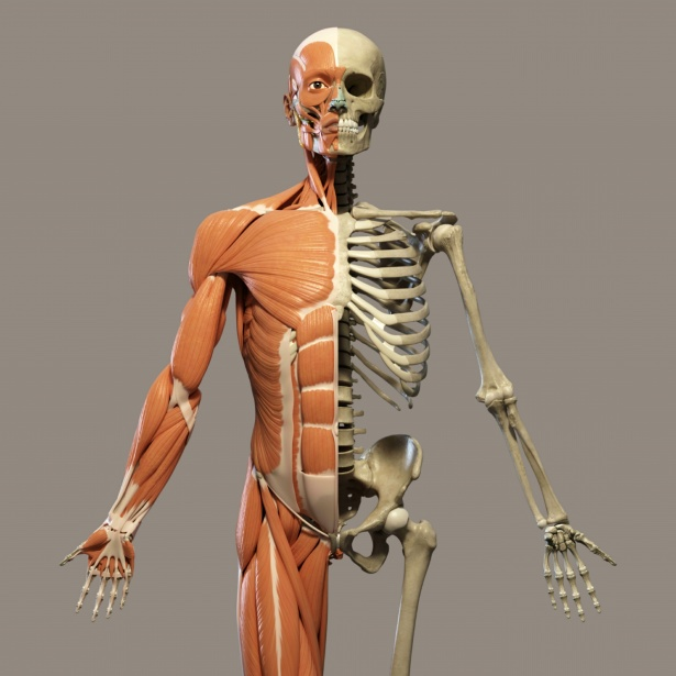 Human Bones, Muscles and Joints Facts