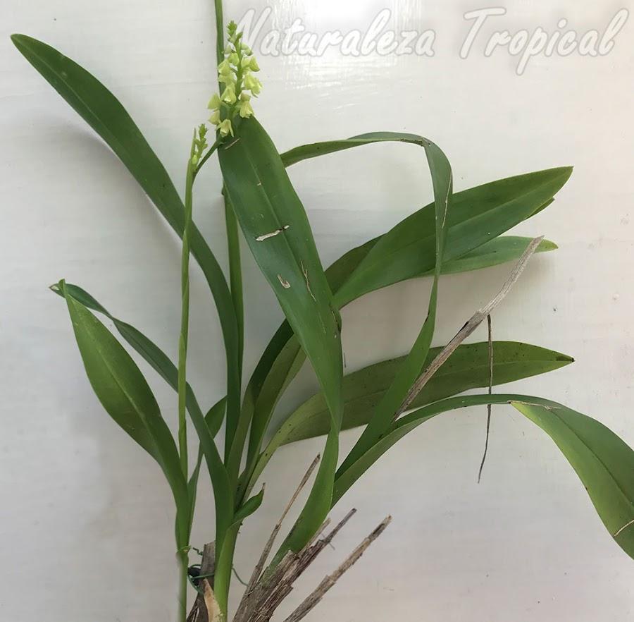Vista del follaje de la orquídea Polystachya concreta