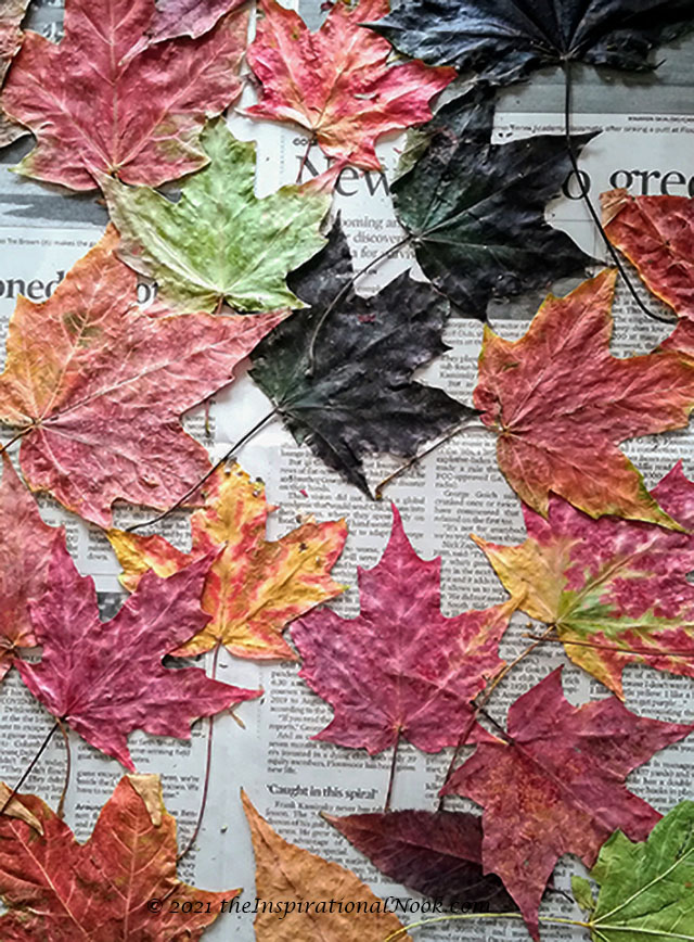 maple leaves, pressed and dried leaves