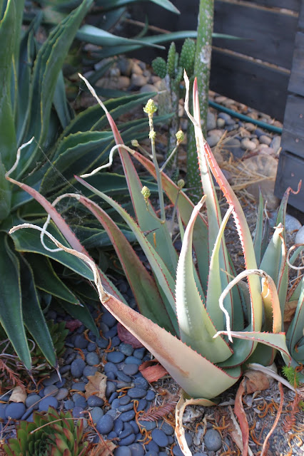 Aloe elegans with inflorescence